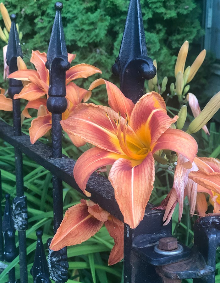 lilys on iron fence